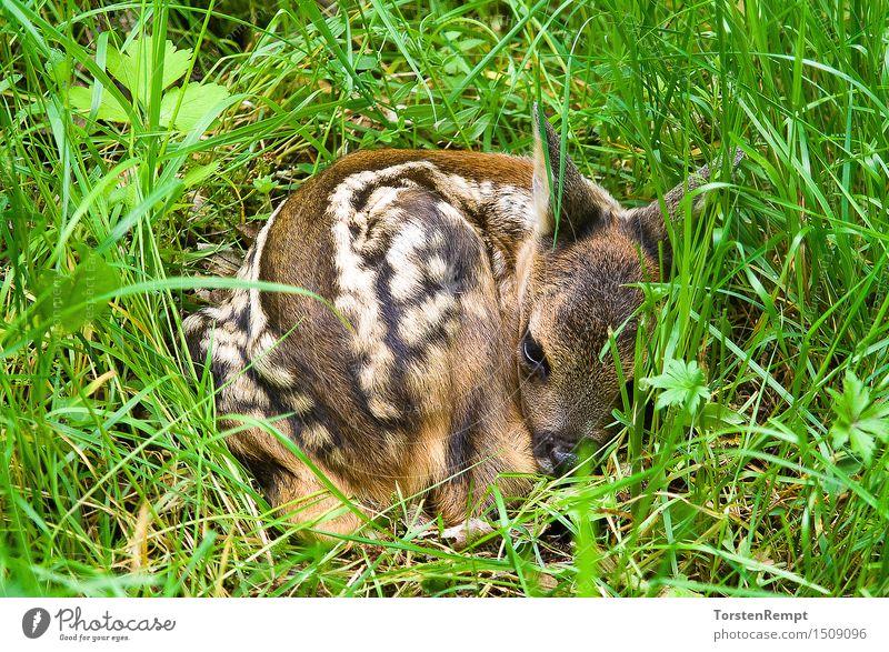 Fawn 2 Wiese Wald Tierjunges klein braun grün weiß Hirsche Paarhufer Reh Rehkitz ruminantia Thüringen trughirsche Wiederkäuer Farbfoto Außenaufnahme Nahaufnahme