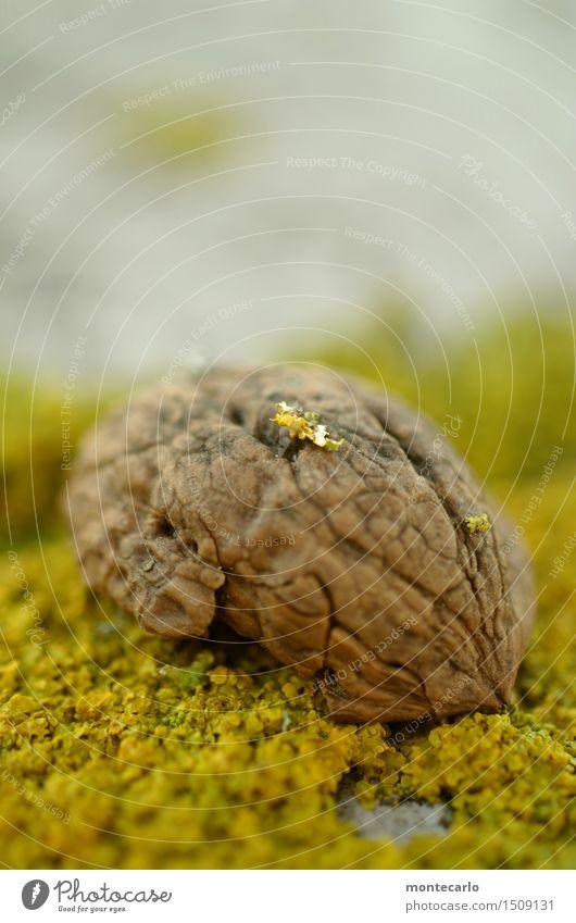 comic | hirn Umwelt Natur Pflanze Herbst Winter Moos Nussschale alt authentisch einfach kalt kaputt klein nah natürlich rund trist trocken braun gelb Farbfoto