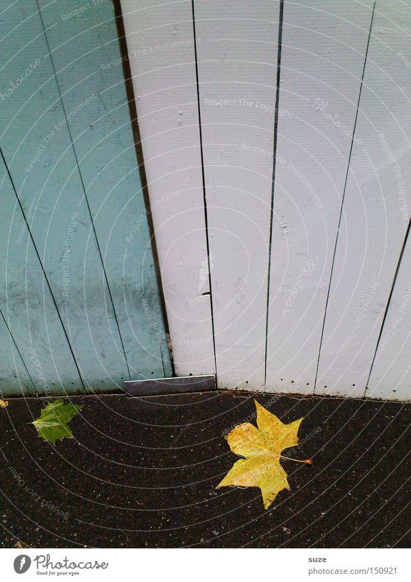Blattgold Umwelt Natur Herbst Wetter Regen authentisch nass natürlich gelb Zaun Wand Bodenbelag Asphalt Ahorn Holzwand weiß Menschenleer Herbstlaub Herbstwetter