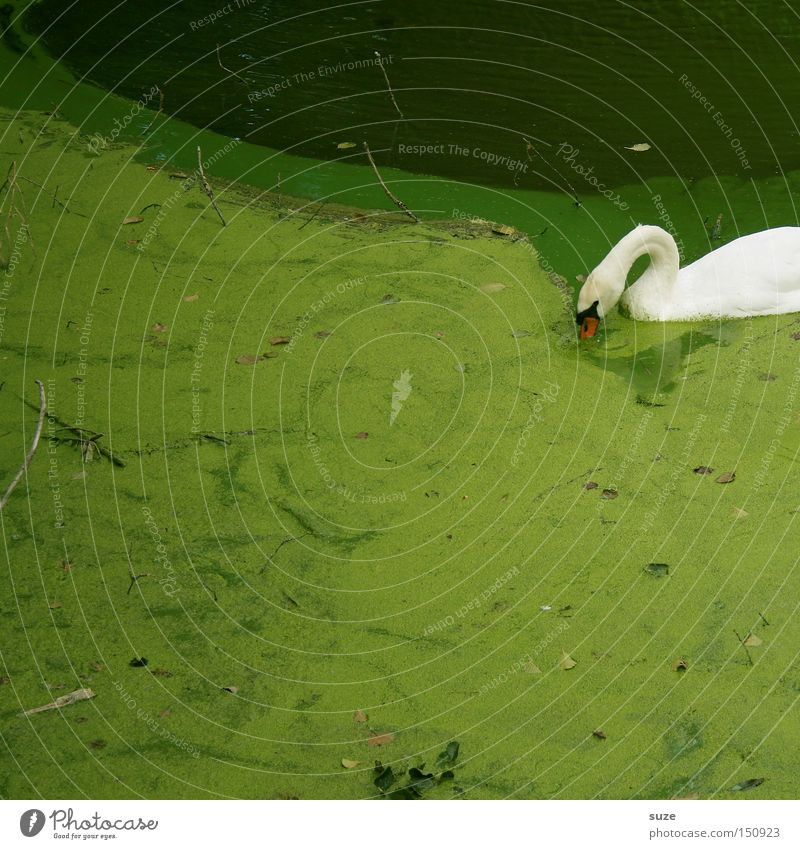 Schwanensee Umwelt Natur Landschaft Pflanze Tier Park Seeufer Wildtier Vogel 1 Fressen Schwimmen & Baden grün weiß Wasseroberfläche Algen Algenteppich Hals