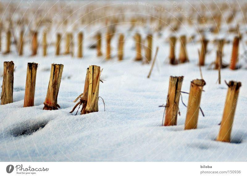Mais_Skulpturen Maisfeld Winter Schnee kalt Einsamkeit Feld Stoppel Ernte Boden niedlich Trauer Verzweiflung Brachland
