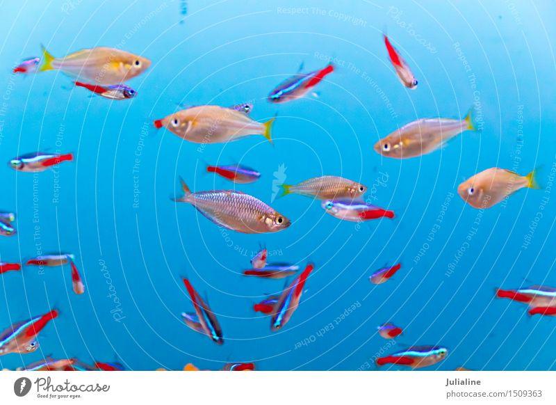 Aquariumfische im blauen Wasser Meer Fluss klein unten türkis Fisch Skalar jung Clown nemo Goldfisch Salz Schwarm Farbfoto Menschenleer