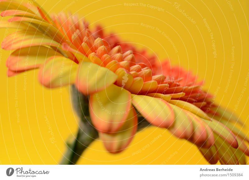 Gerbera schön Sommer Natur Blume frisch hell gelb rot weiß Gänseblümchen gerber Hintergrund Gerberas geblümt orange Überstrahlung Margeriten Wasser
