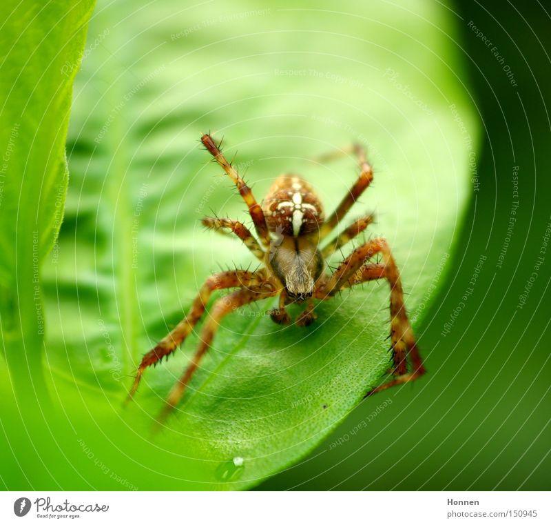 Leisetreter Kreuzspinne Radnetzspinne Wiese Blatt grün Netz Dieb Webspinne Natur Araneomorphae