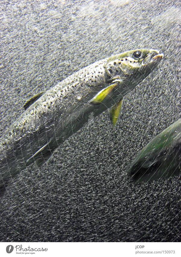 Wo gehts hier zum Brötchen? Wasser Meer blau Fisch Fluss tauchen Blase tief Luftblase fließen Flosse Unterwasseraufnahme Hering