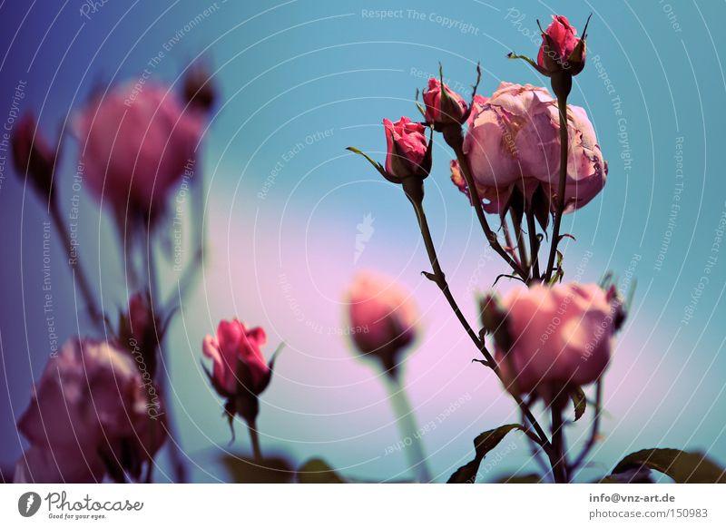 Rosa Rosen schön Himmel Blume blau Pflanze Sommer Park rosa Rose
