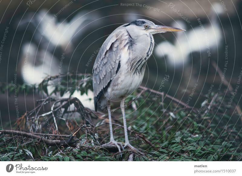 Mitesser Pflanze Tier Baum Haustier Wildtier Vogel Tiergesicht Flügel Zoo 1 Tiergruppe Schwarm füttern braun grau grün weiß Pelikan Graureiher Futterdieb