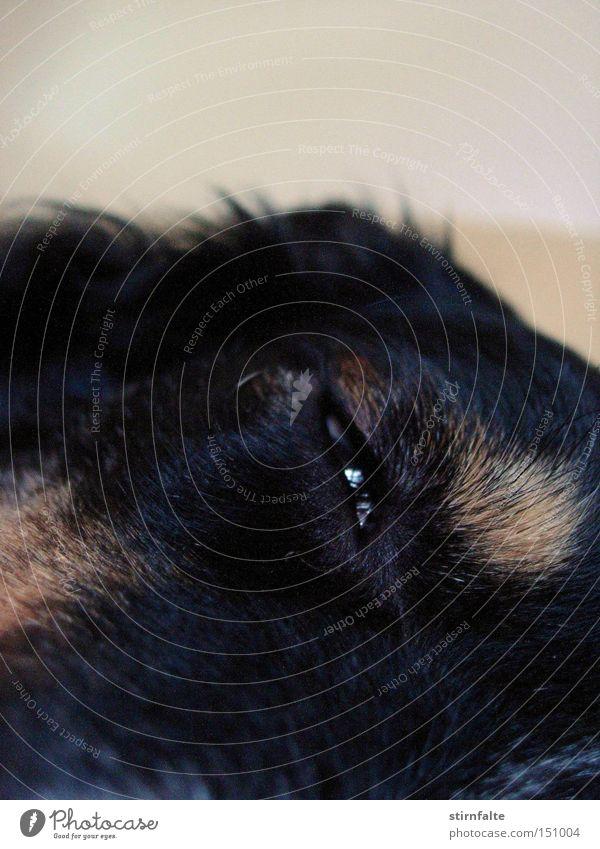 Schau mir in die Augen... Hund Erholung ruhig dunkel schwarz genießen niedlich schlafen Pause Fell Müdigkeit Säugetier Langeweile verträumt Treue
