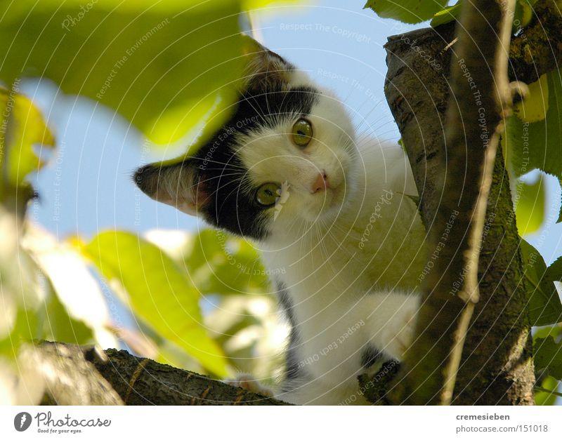 maui_01 Katze Baum Tier klein Klettern Fell Haustier Hauskatze Pfote Blauer Himmel Katzenbaby Streicheln Kirschbaum Obstbaum