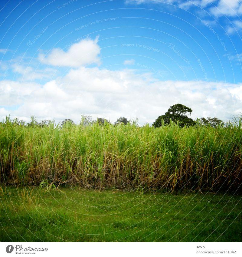 Kein Bett im Kornfeld Himmel blau weiß grün Baum Sommer Wolken Wiese Gras Feld Getreide Weizen Mais