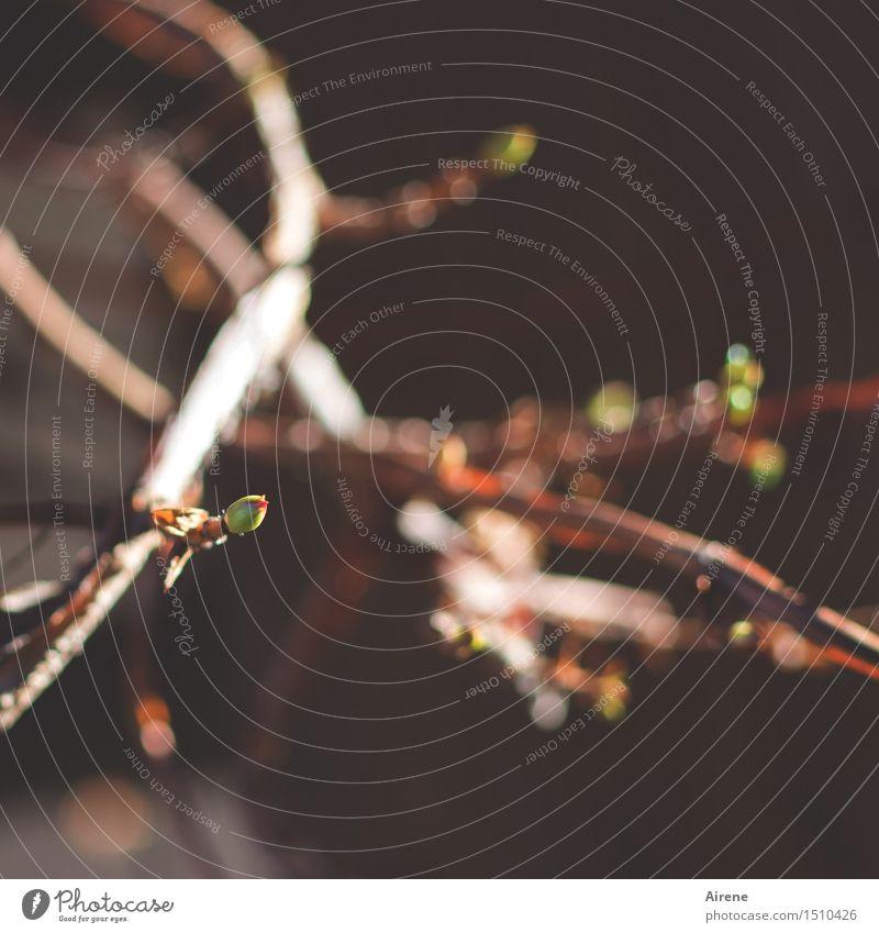 zaghaft Pflanze Frühling Kletterpflanzen Blattknospe Zweige u. Äste Kletterhortensie Garten Wachstum klein natürlich neu Spitze braun Frühlingsgefühle Neugier