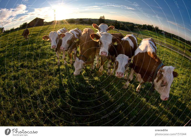 was guckst du?? Kuh Kalb Wiese Sonne Gegenlicht Wolken Fischauge Horn Fleck gefleckt Ohr Blick Herde Säugetier