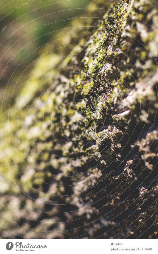 Wetterseite Pflanze Klima Baum Baumstamm Echter Walnussbaum Baumrinde Moos einzigartig braun grün Falte gefurcht Furche feucht verwittert Farbfoto Außenaufnahme