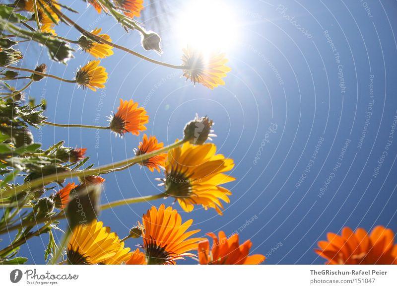 Vielen Dank für die Blumen... Himmel Sonne Blume grün blau gelb Leben Beleuchtung orange Wachstum Blühend Reifezeit