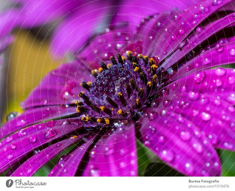 Rain is gone Natur Pflanze Wasser Blume Blüte Garten rosa Kapkörbchen Farbfoto Außenaufnahme Makroaufnahme Menschenleer Tag Licht Totale