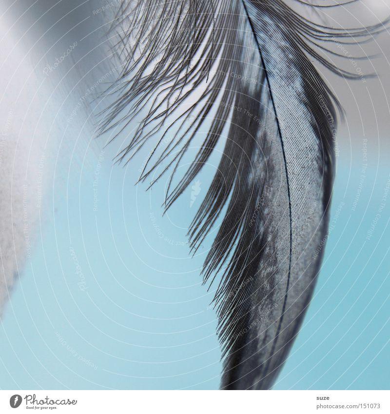 Viel-leicht Dekoration & Verzierung weich schwarz weiß Trauer Verzweiflung Feder hell-blau zart sanft Kitzel Flaum Härchen Farbfoto mehrfarbig Innenaufnahme