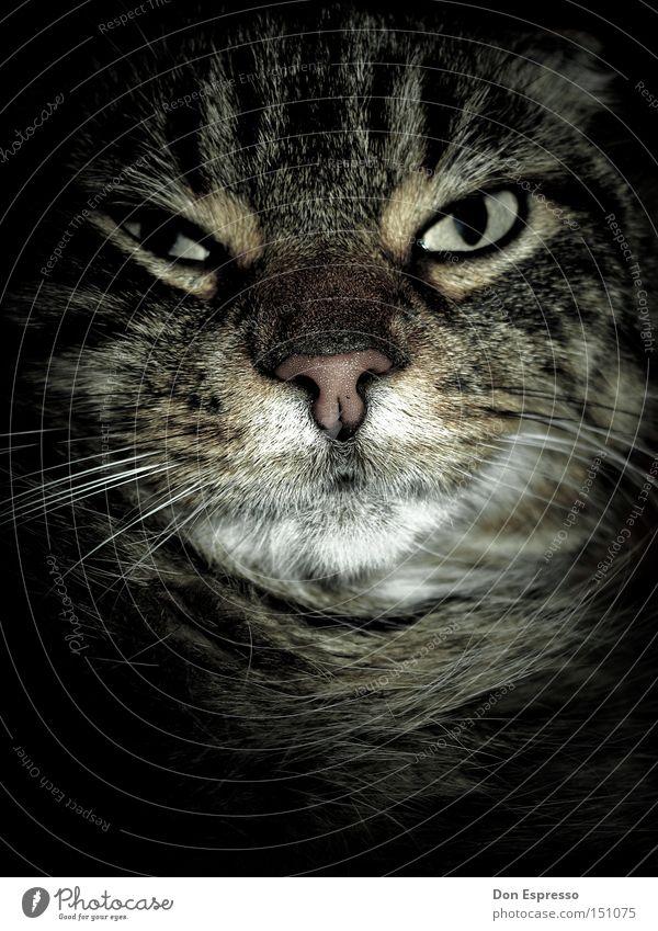 Augen auf, Muschi! Auge Tier träumen Katze Blick schlafen gruselig Müdigkeit böse Desaster Säugetier Haustier Hauskatze Miau unfreundlich grimmig