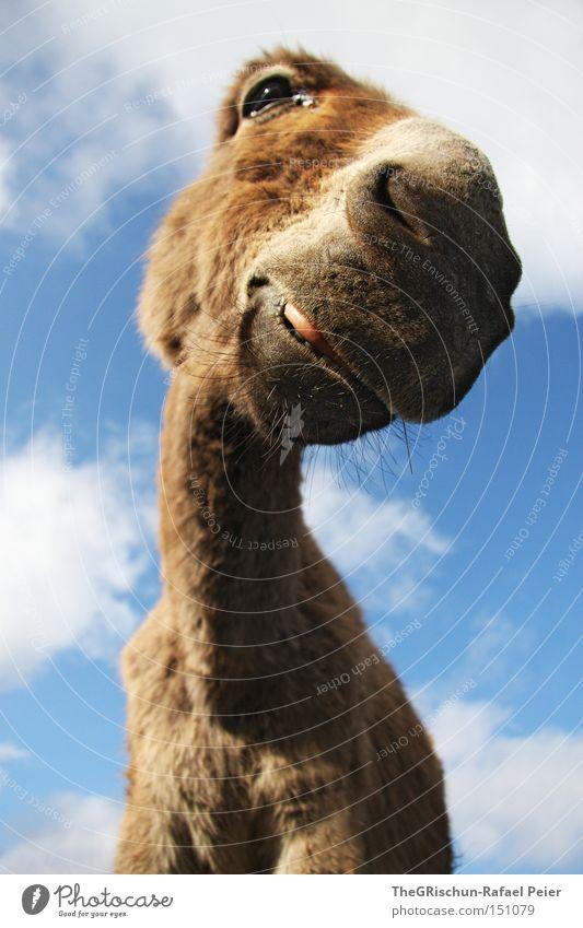 Kein Ohr Esel Himmel Wolken Tier Auge lustig Nase Perspektive Lippen Hals Säugetier Mund