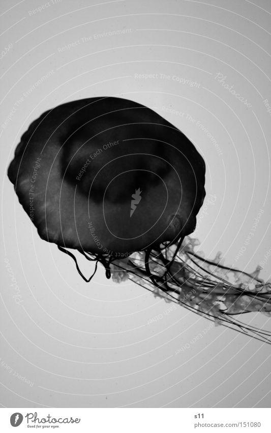 Jellyfish III Qualle Meer Lebewesen Nesseltiere schleimig Unterwasseraufnahme Strand brennen Meerwasser Aquarium Weichtier Schwarzweißfoto Fisch glibberig tief