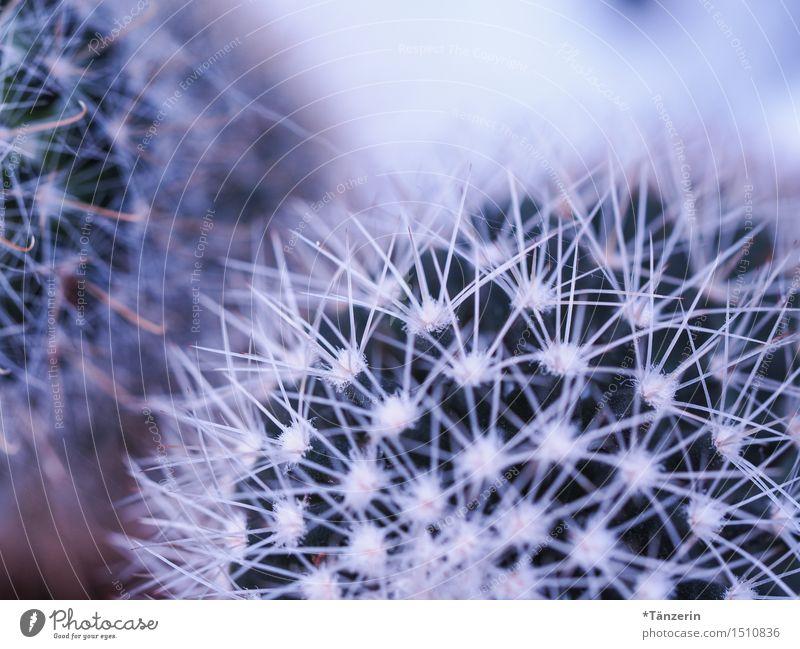 mein kleiner grüner Kaktus Natur Pflanze ästhetisch natürlich schön Spitze stachelig weiß Farbfoto mehrfarbig Nahaufnahme Makroaufnahme Menschenleer Tag