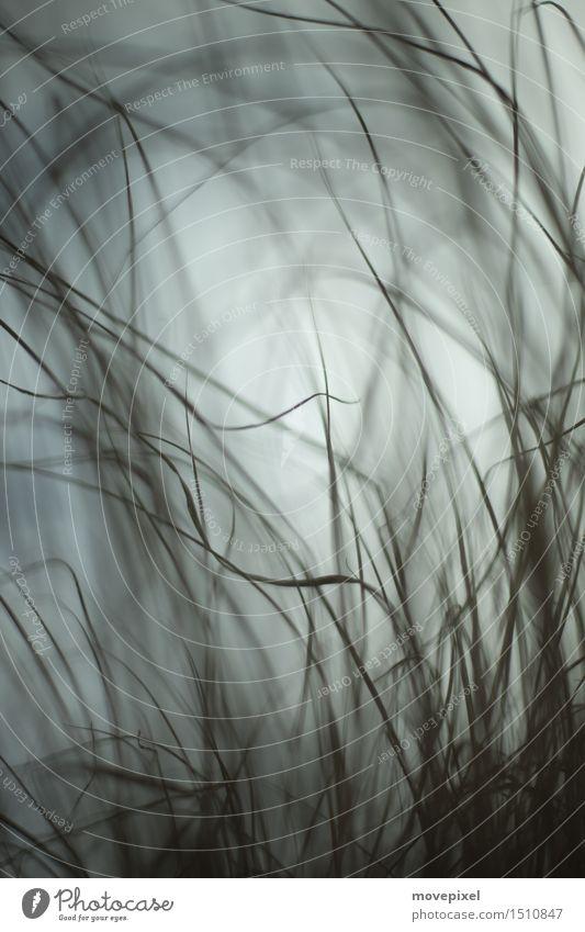Grashalme Schwache Tiefenschärfe Unschärfe Textfreiraum oben Nahaufnahme Gedeckte Farben Umwelt Bewegung Wiese Wind Natur