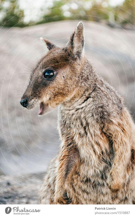 Rock Wallaby Natur Ferien & Urlaub & Reisen schön Sommer Tier Berge u. Gebirge Auge Park wild Wetter Wildtier Fröhlichkeit einzigartig niedlich Abenteuer