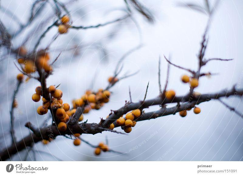 Herbststaub Natur blau Pflanze Herbst Tod orange Ende Vergänglichkeit Spitze Vergangenheit Beeren Stachel stachelig Hoffnungslosigkeit
