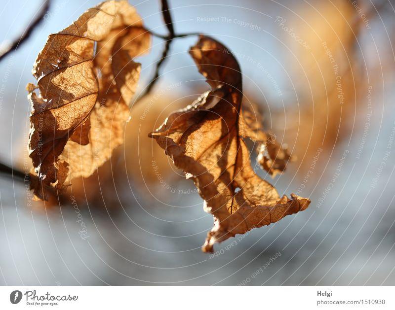 Restbestände... Umwelt Natur Pflanze Herbst Schönes Wetter Baum Blatt Zweig Buchenblatt Park hängen dehydrieren alt authentisch einzigartig natürlich trocken