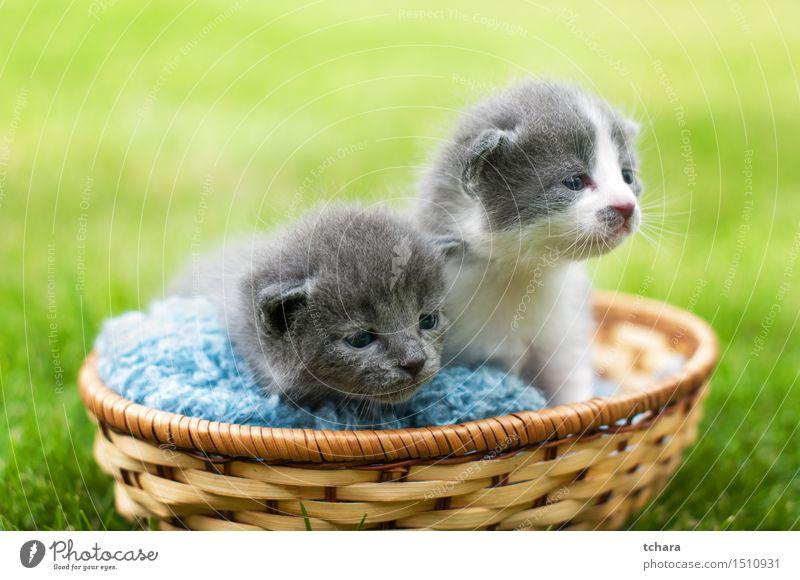 Kätzchen Katze grün schön Tier Tierjunges Traurigkeit Liebe lustig Gras klein grau Garten warten Baby niedlich Fell
