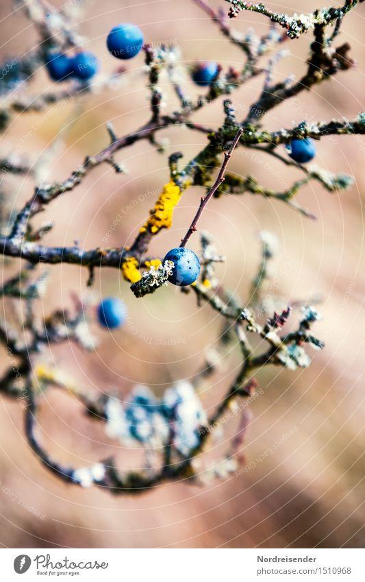 Wildfrucht Frucht Ernährung harmonisch Natur Pflanze Sträucher Wachstum Freundlichkeit frisch Gesundheit nass sauer authentisch rein Schwarzdorn herb Flechten
