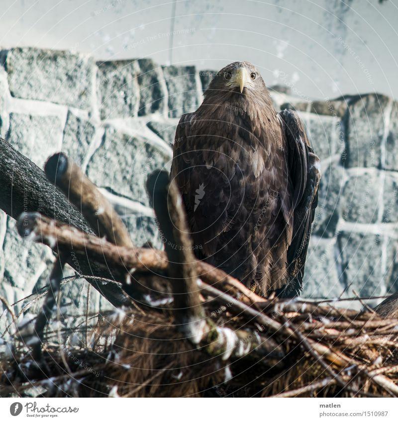 Fliegerhorst Zoo Tier Flügel 1 Stein Holz beobachten dunkel braun grau Berlin 2015 Steinadler Horst Farbfoto Gedeckte Farben Außenaufnahme Nahaufnahme
