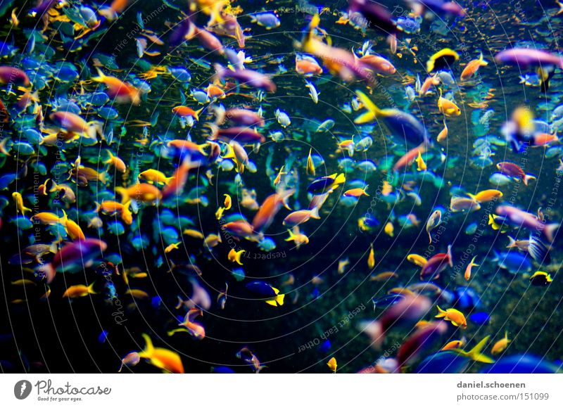 bunte Fischsuppe Schwarm Wasser Meer Farbe mehrfarbig Naher und Mittlerer Osten mehrere Tiergruppe viele Sportveranstaltung Aquarium Konkurrenz Dubai