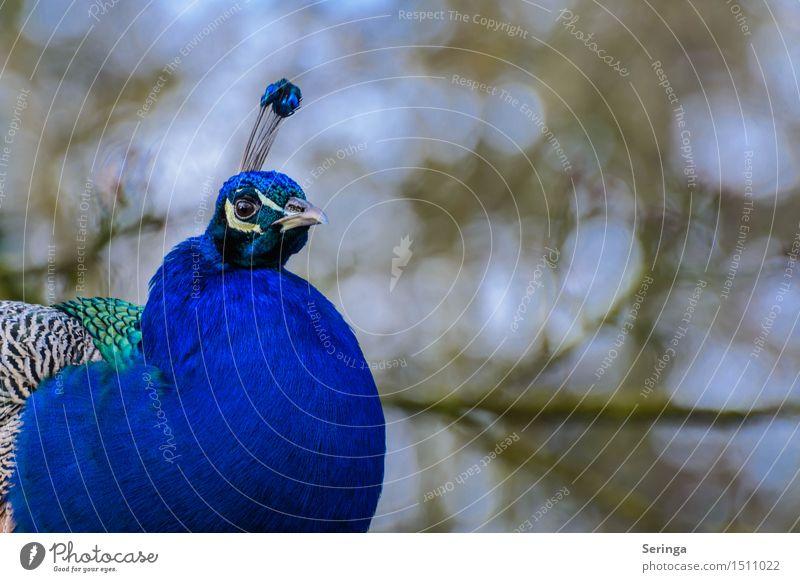 Pfau schön Tier Vogel Wildtier ästhetisch Flügel Tiergesicht Zoo Pfau