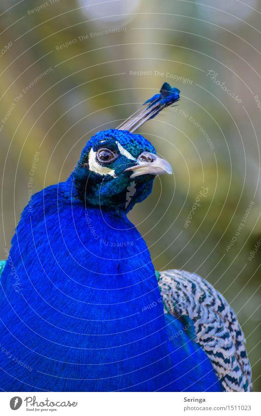 Was für eine Farbe Tier Wildtier Vogel Tiergesicht Flügel Zoo 1 Blick Pfau Pfauenfeder Hühnervögel Farbfoto mehrfarbig Außenaufnahme Menschenleer