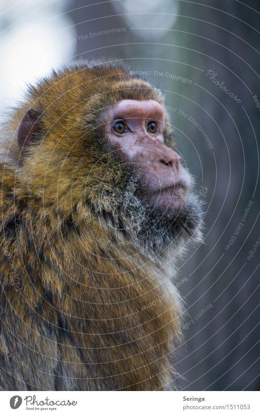 Schaut nicht gerade zufrieden Tier Wildtier Tiergesicht Fell 1 Blick Affen Farbfoto mehrfarbig Außenaufnahme Menschenleer Textfreiraum rechts Textfreiraum oben