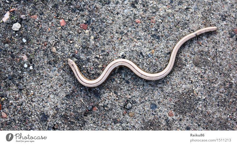 Blind Snake Natur Wildtier Schlange 1 Tier Freiheit Blindschleiche Echsen Schleichen Farbfoto Außenaufnahme Menschenleer Tag