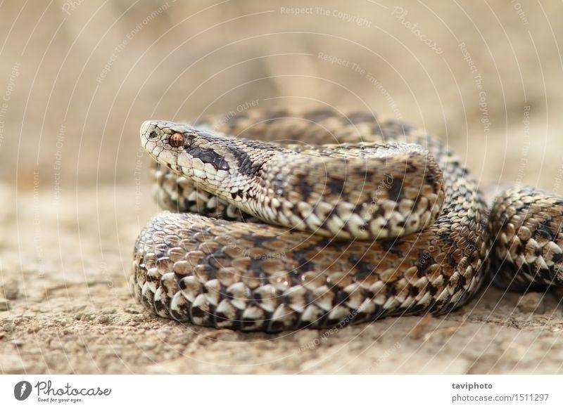 Nahaufnahme der weiblichen Wiese Viper Frau Erwachsene Natur Tier Schlange wild grau gefährlich Farbe Schuppen Ottern Reptil Rakkosiensis Fotografie giftig