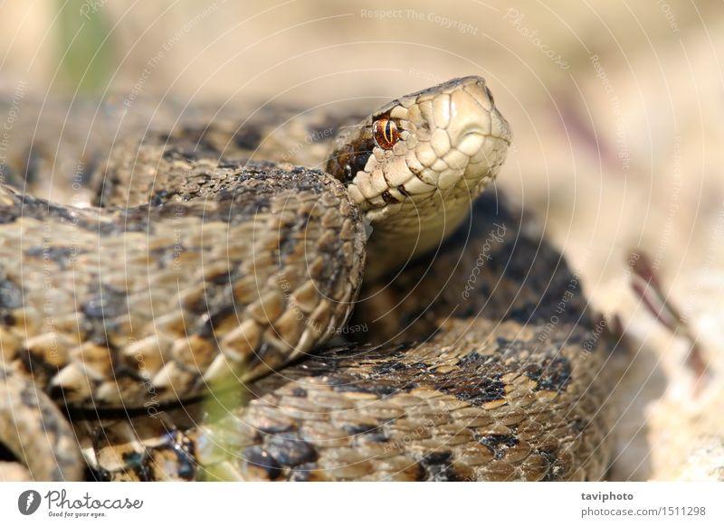 Nahaufnahme von Wiesenviper schön Frau Erwachsene Natur Tier Schlange wild grau Schutz gefährlich Farbe ursinii Gift giftig Reptil Rakkosiensis Natter Vipera