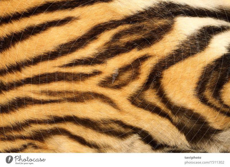 Nahaufnahme auf echtem Tigerfell Design schön Haut Tier Urwald Pelzmantel Leder Behaarung Katze Streifen alt authentisch natürlich wild braun gelb schwarz Farbe