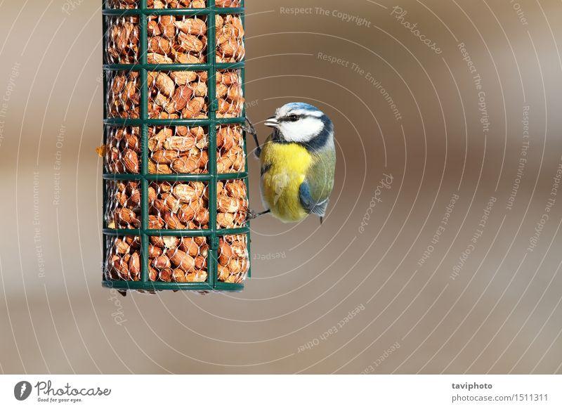 eurasische Blaumeise, die Erdnüsse isst Essen Winter Garten Natur Tier Wald Vogel beobachten füttern sitzen klein nachhaltig natürlich niedlich wild blau gelb