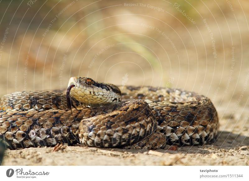 Wiesen-Adder am Boden schön Frau Erwachsene Natur Tier Schlange wild braun Angst gefährlich Farbe Rakkosiensis Ottern ursinii Vipera Natter Reptil gefährdet