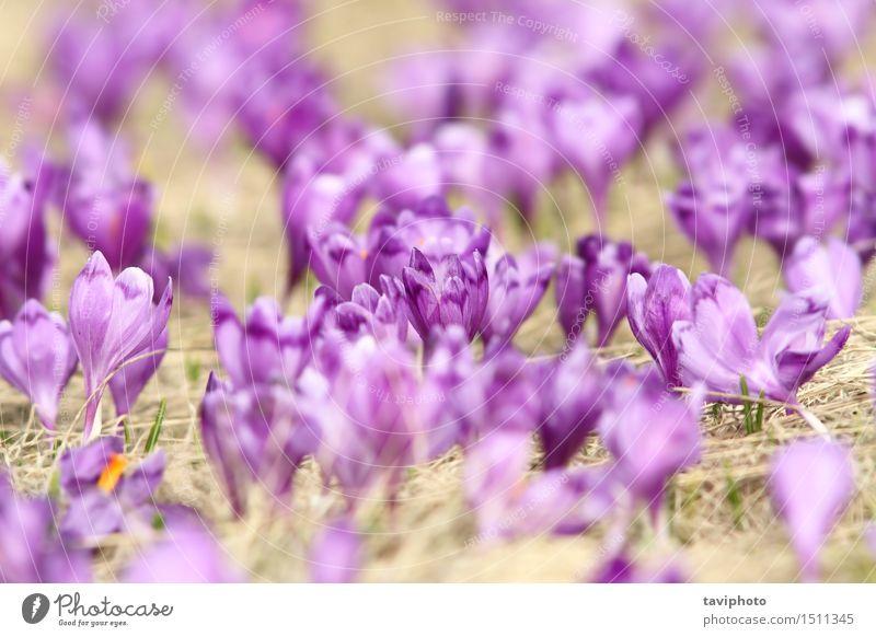 natürliche Wiese voller Krokusse elegant Leben Garten Menschengruppe Natur Pflanze Frühling Blume Gras Blatt Blüte Park Wachstum frisch gelb grün Farbe purpur