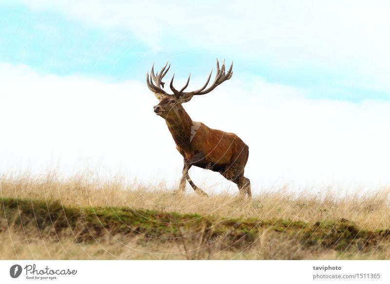 Rotwildbock, der oben auf einen Hügel läuft schön Spielen Jagd Mann Erwachsene Umwelt Natur Landschaft Tier Herbst Gras Park Wiese rennen natürlich braun rot