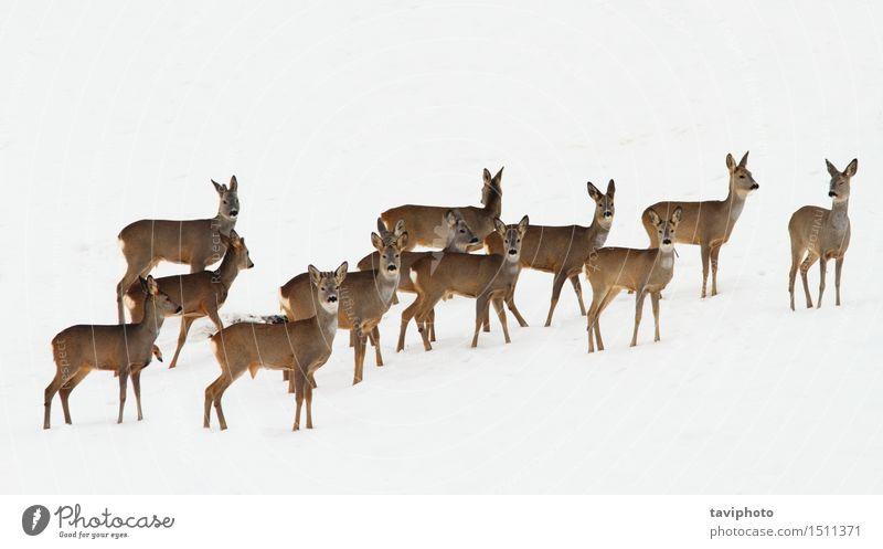 Rehe Herde über weißen Schnee schön Jagd Winter Menschengruppe Natur Tier Pelzmantel beobachten wild braun Kapreolus Tierwelt Rogen Hirsche viele