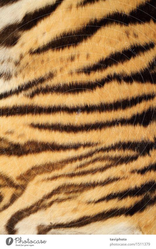 Tiger Echtpelz Stil Design schön Haut Dekoration & Verzierung Natur Tier Urwald Pelzmantel Stoff Leder Behaarung Wildtier Katze Streifen authentisch wild braun