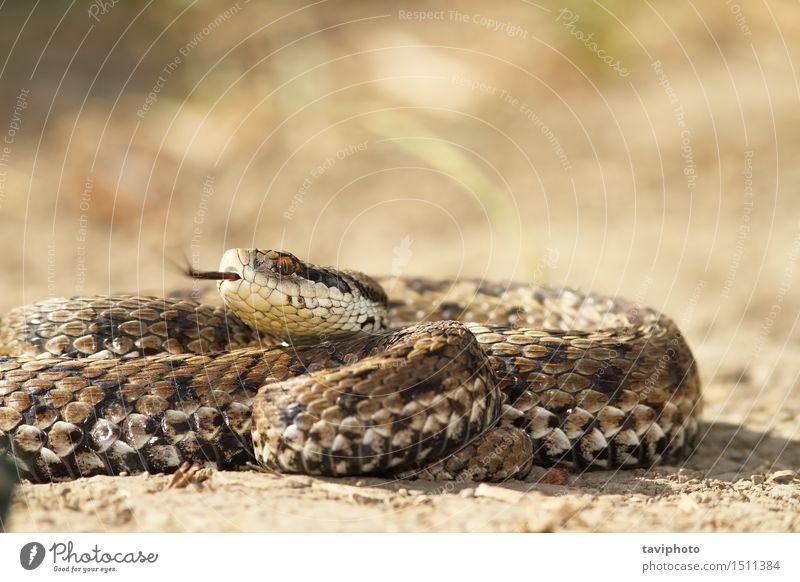 vipera ursinii auf dem Boden schön Umwelt Natur Tier Wiese Schlange einzigartig wild braun Angst gefährlich Reptil Rakkosiensis Natter Ottern giftig Vipera