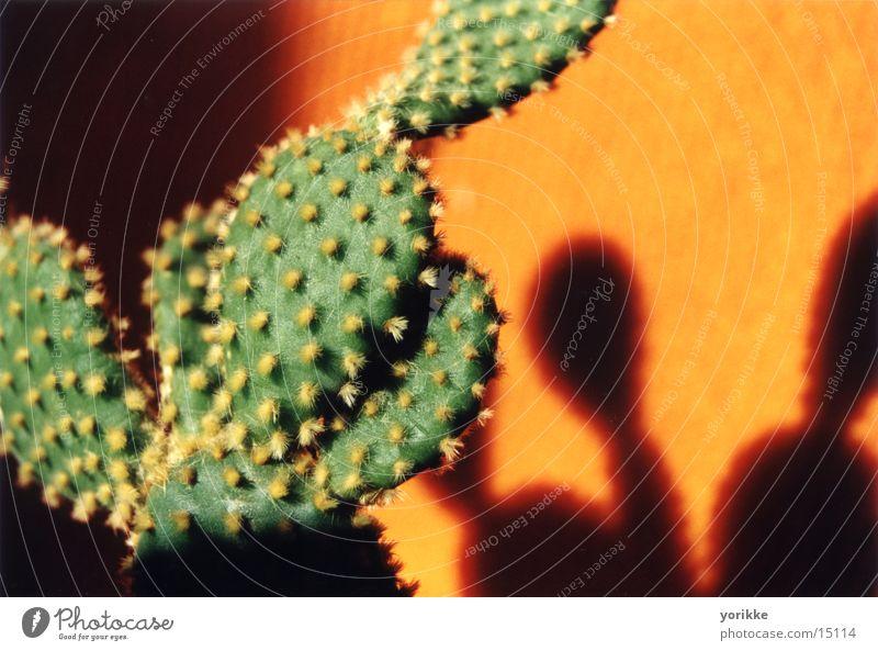 kaktus grün Stachel orange