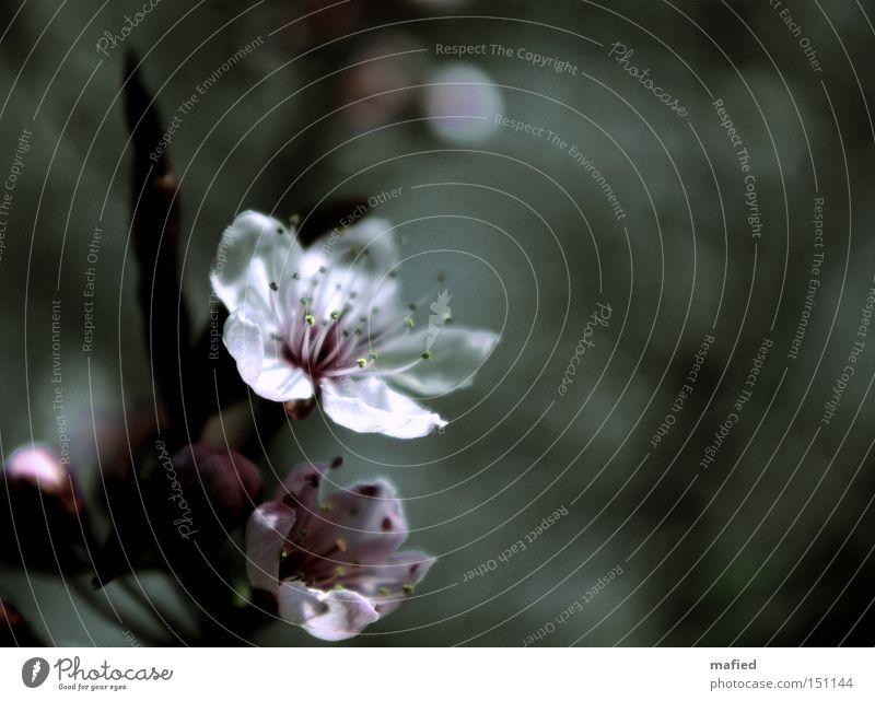 Frühlingstraum dunkel kalt Blüte grau Wärme rosa Hoffnung trist zart