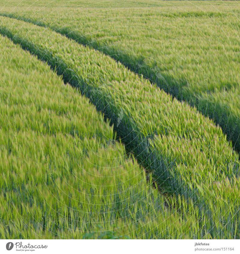 EIN BETT IM KORNFELD grün Korn Kornbrand Getreide Kornfeld Spuren Traktorspur Ähren Feld Landwirtschaft Herbst Ernte Landschaft Lebensmittel
