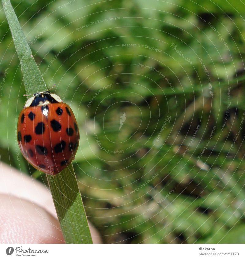 Anisosticta novemdecimpunctata Hand grün rot Sommer Tier Gras Insekt Punkt Halm Marienkäfer Käfer 19